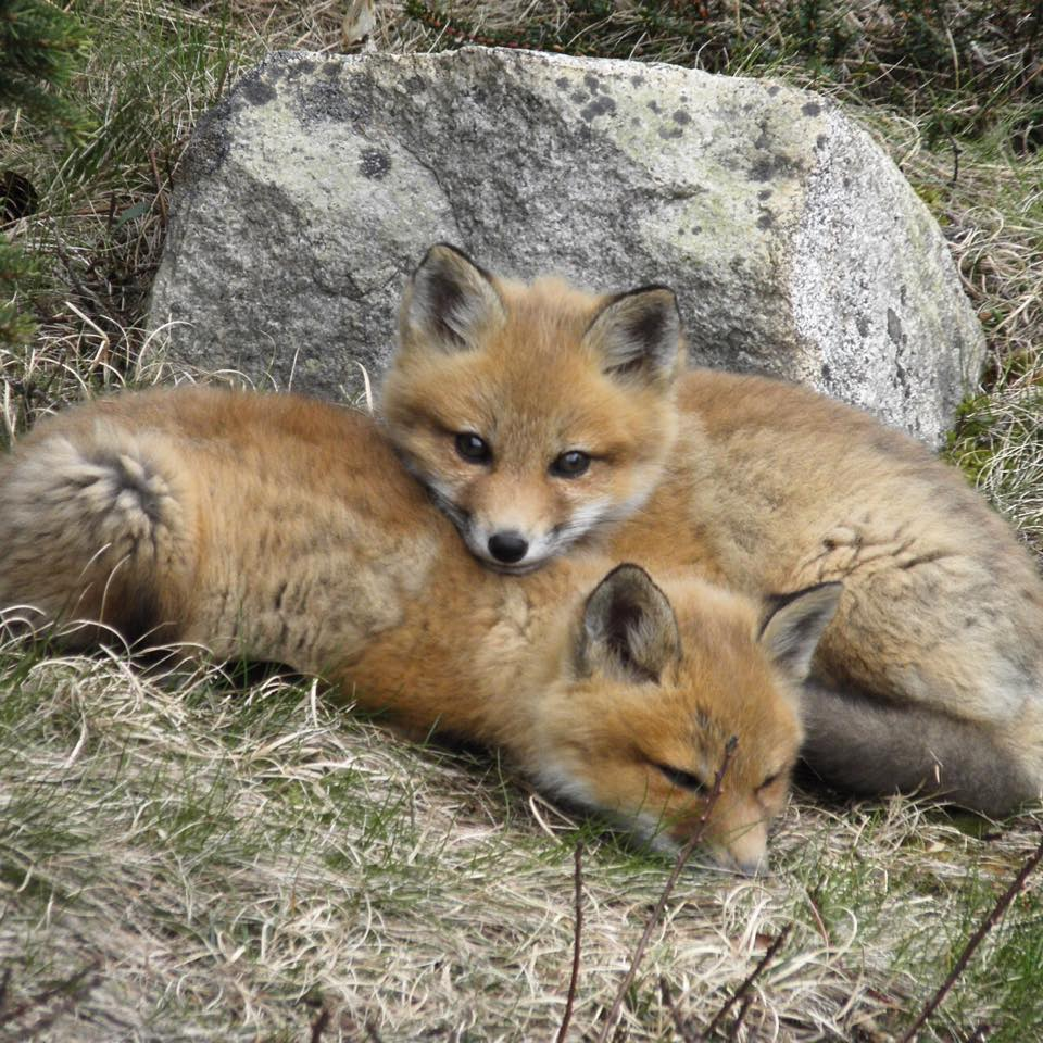 A fox kit lays on top of its sibling in front of a rock