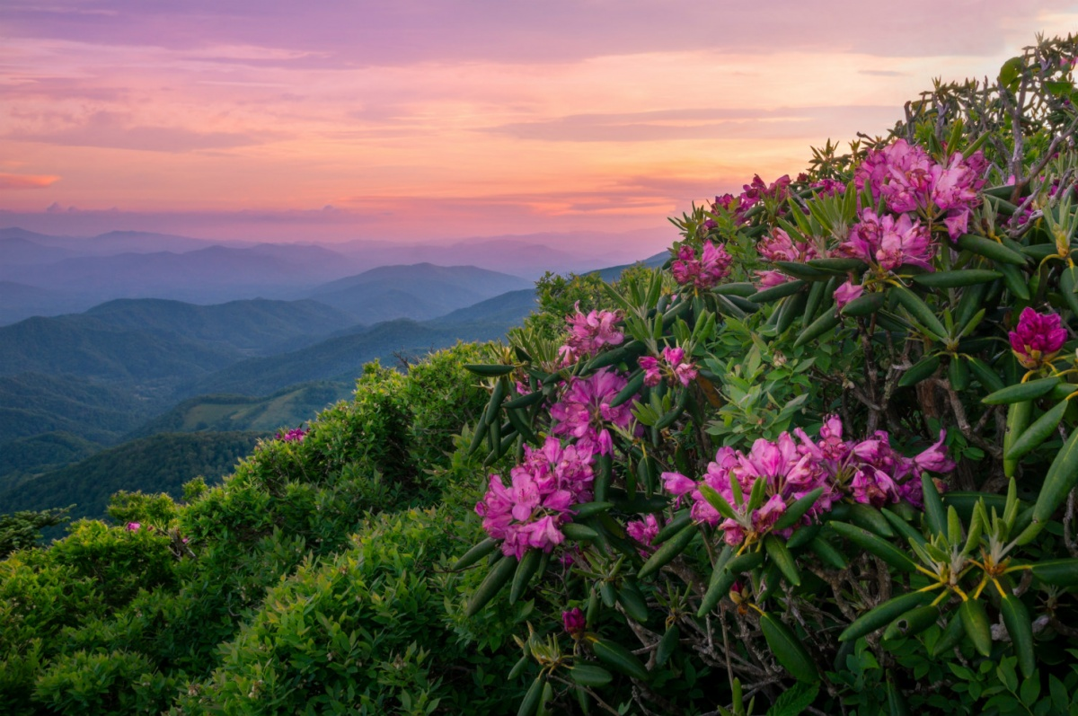 Large pink flowers blossom from a green shrub on the side of a mountain under a sunset sky.