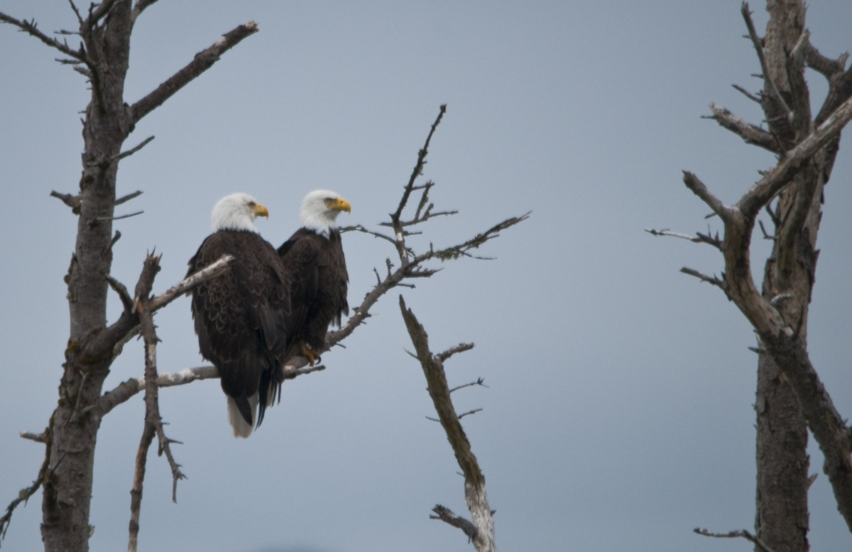 two bald eagles sit next to each other on a tree branch