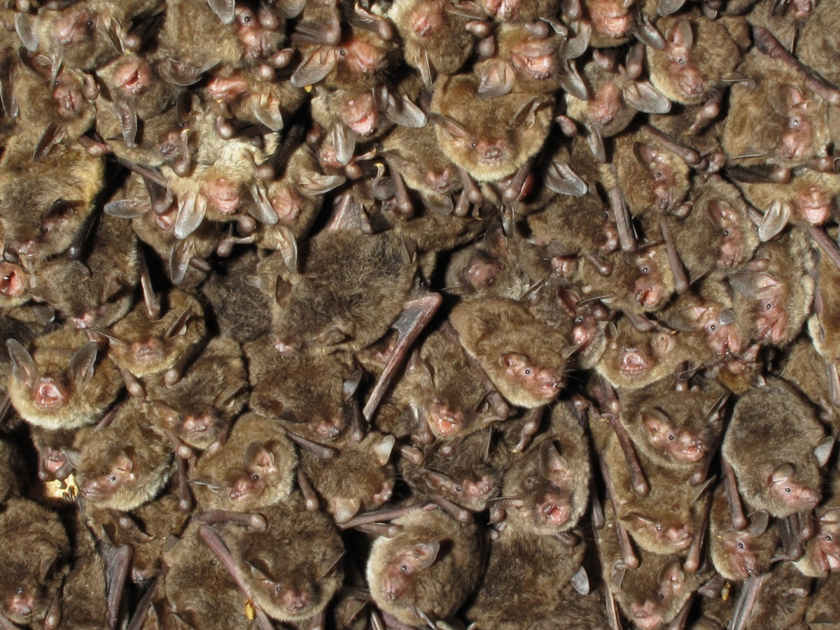 A cluster of dozens of identical brown bats.