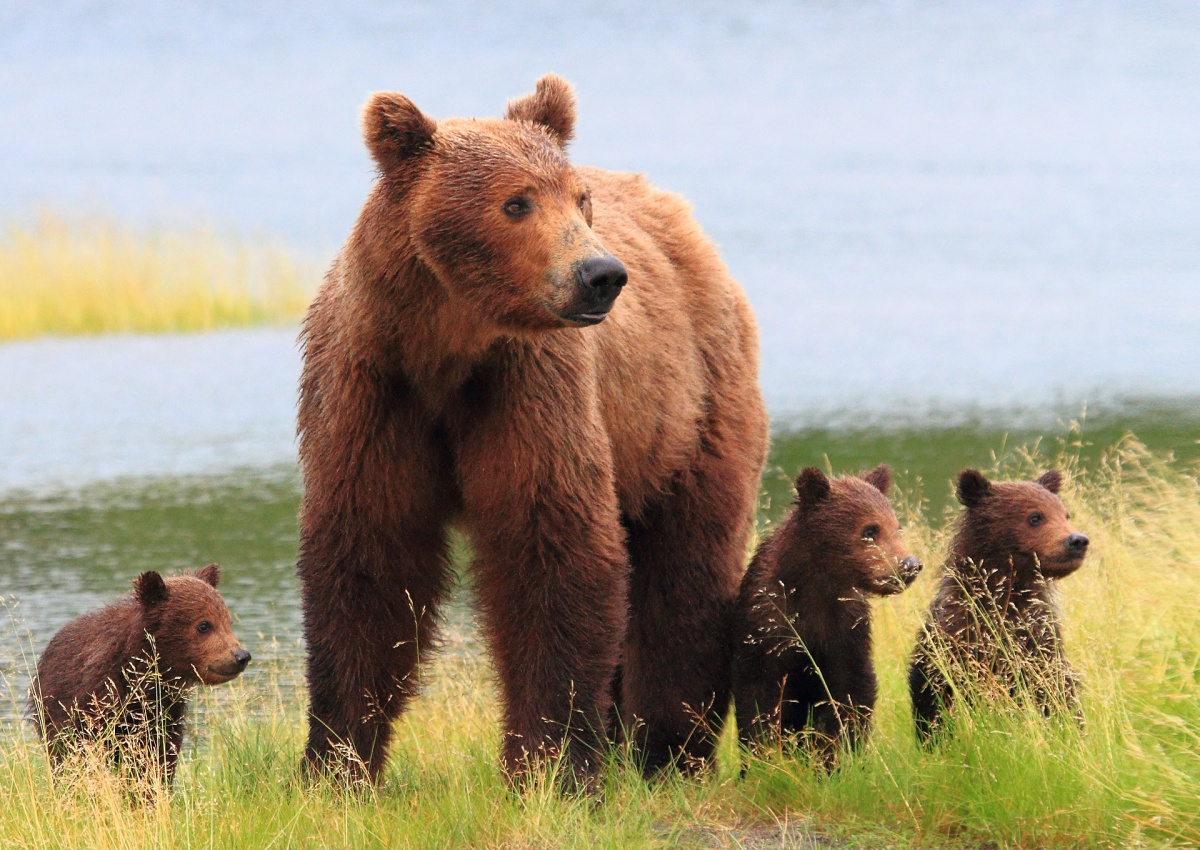 A mother brown bear with her three cubs stand dripping water.