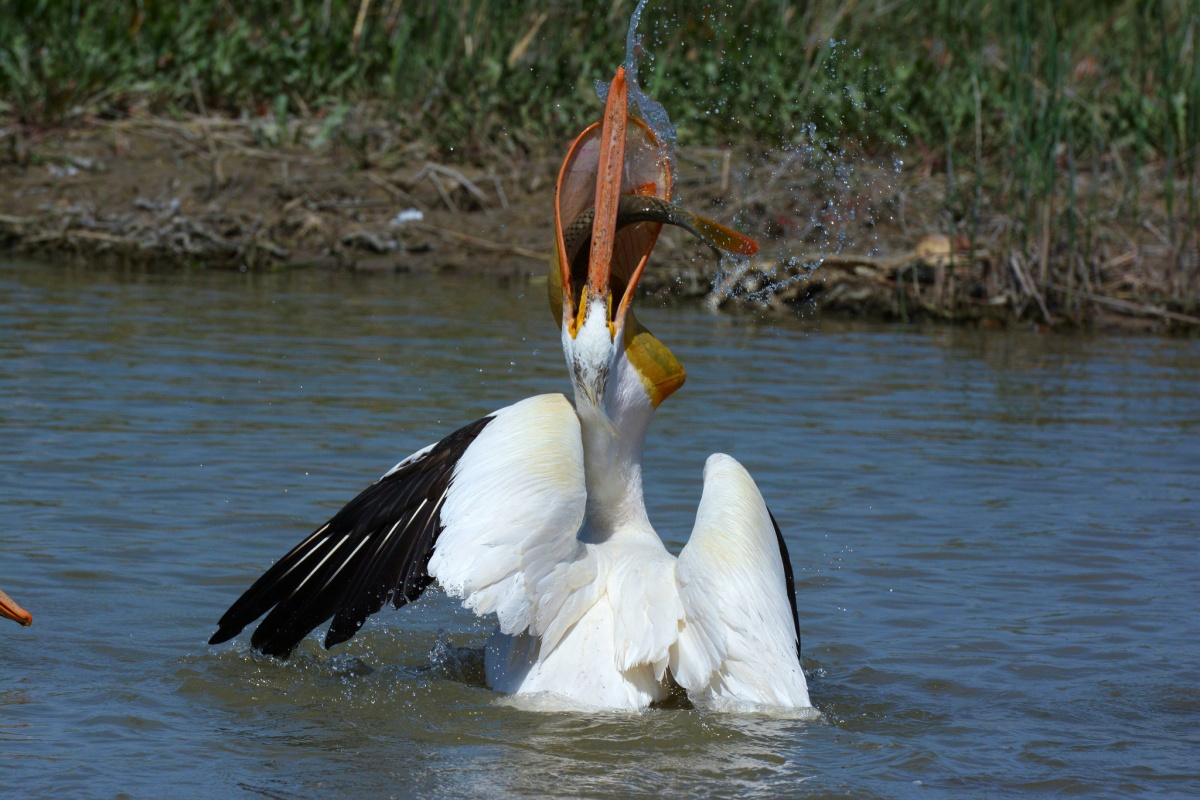 Action shot of a bird on the water catching a fish in its mouth.