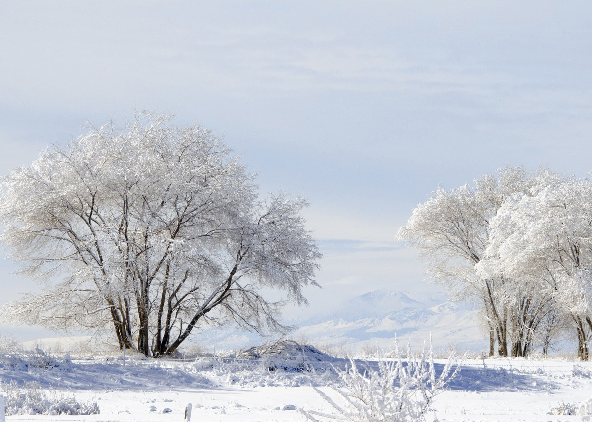 Several low, round topped trees covered with snow stand on a snow covered plain under and overcast sky.