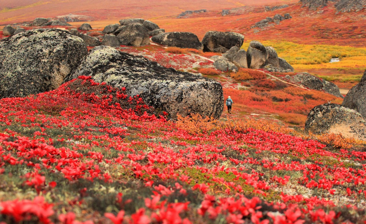 A lone hiker walks around large scattered boulders on a field covered in red, orange and yellow plants.