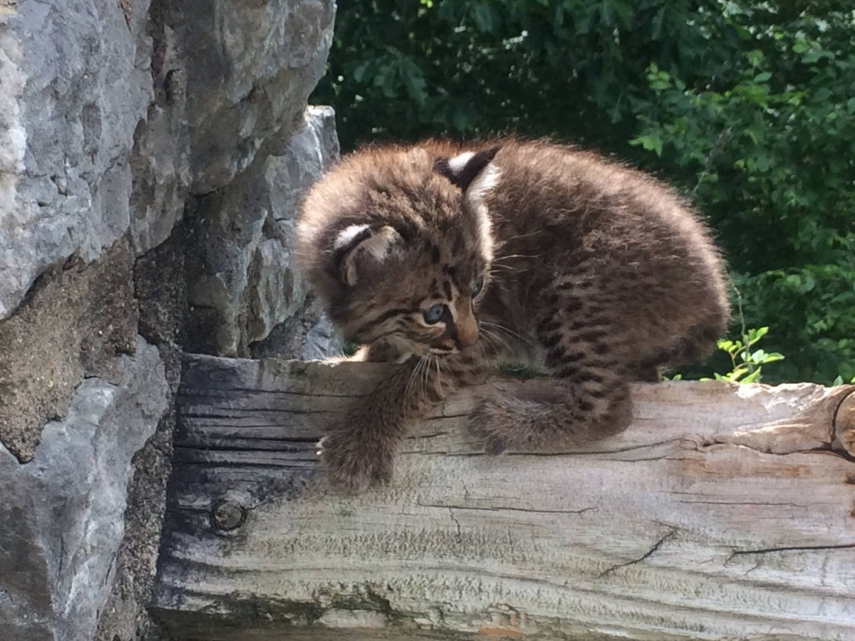 Bobcat kitten clings to wood fence.