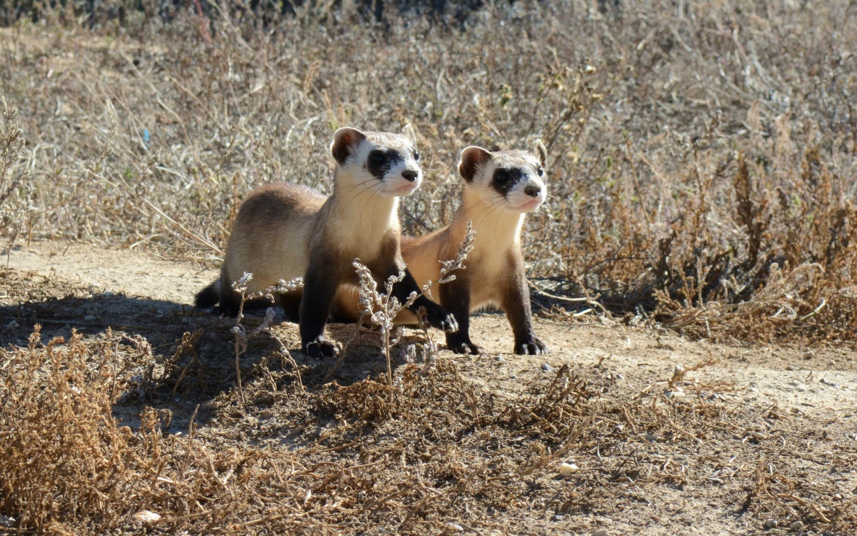 Two small fuzzy ferrets standing on a dirt path running through dry grass.
