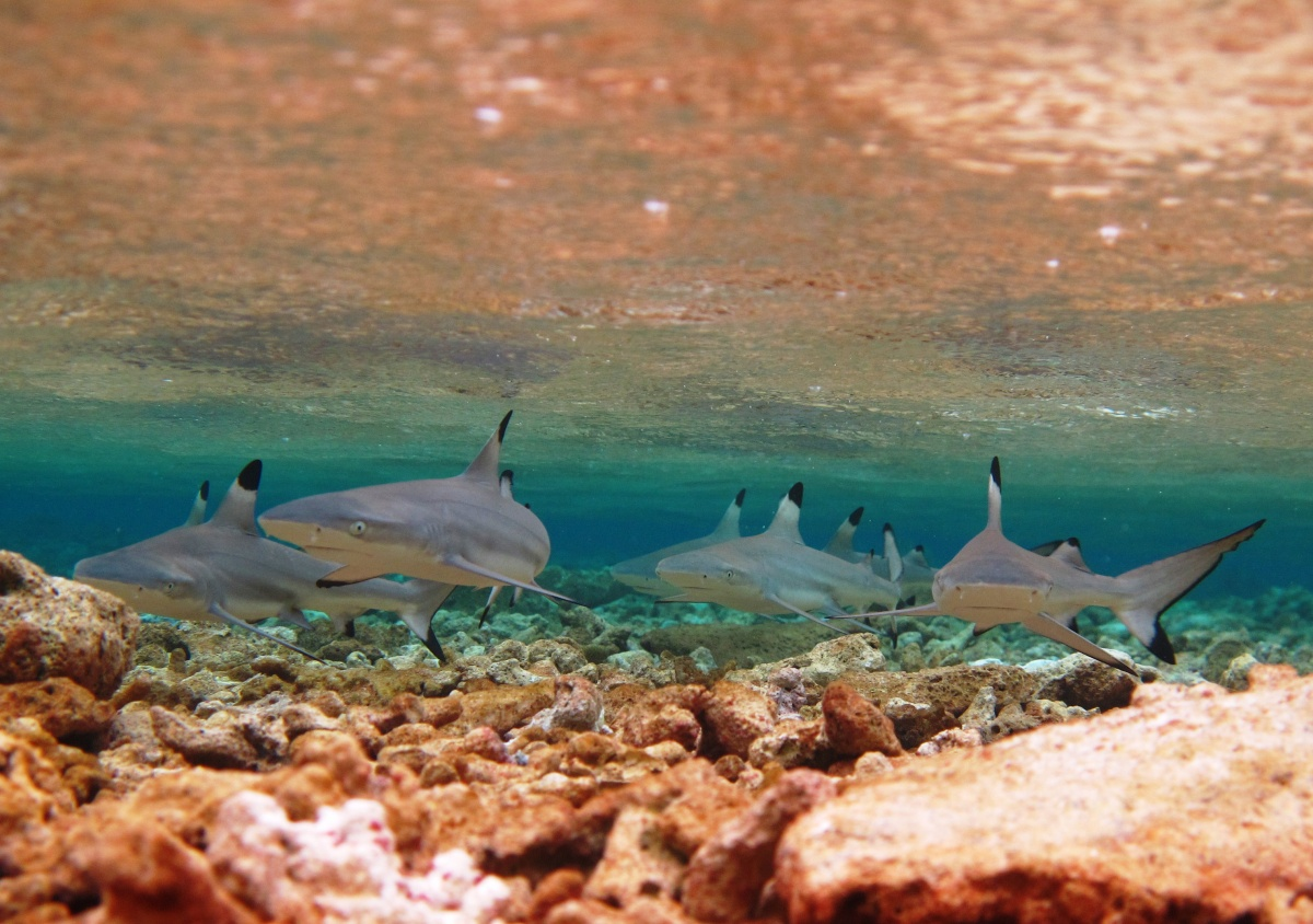 Photo of group of black tipped shark pups under the water, orange and brown rocks covering the ocean floor beneath them
