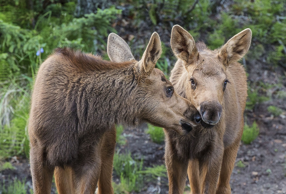 two moose calves nuzzle noses