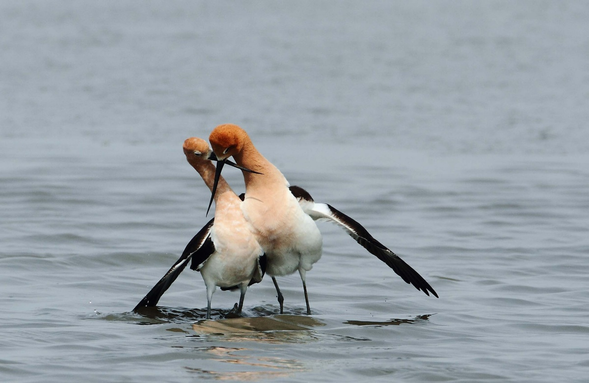avocets stand side by side in the water with their bills crossed and the male's wing draped over the female