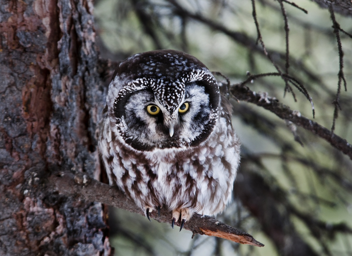 A boreal owl leans forward on its branch, as its yellow eyes peer out.