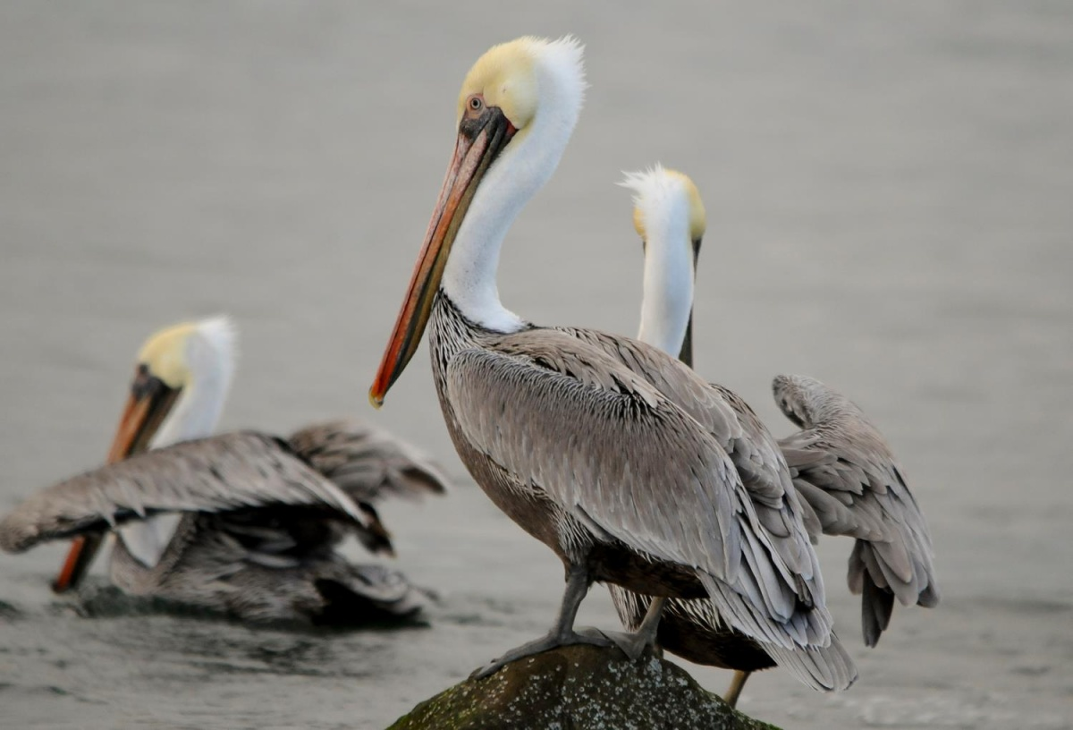A large pelican with a white head and gray body stands on a rock with other pelicans in the background.