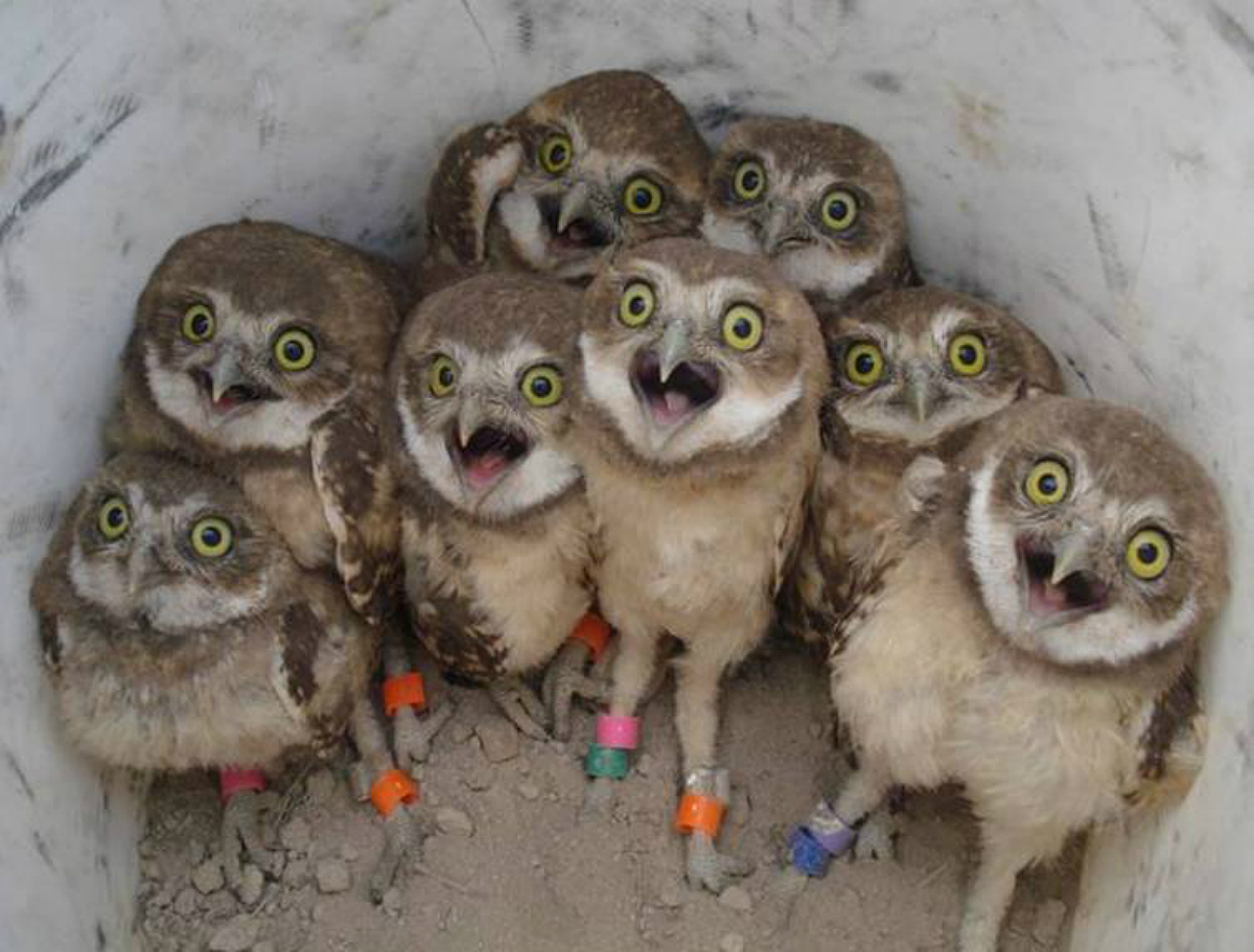 A group of burrowing owls stare back at the camera.