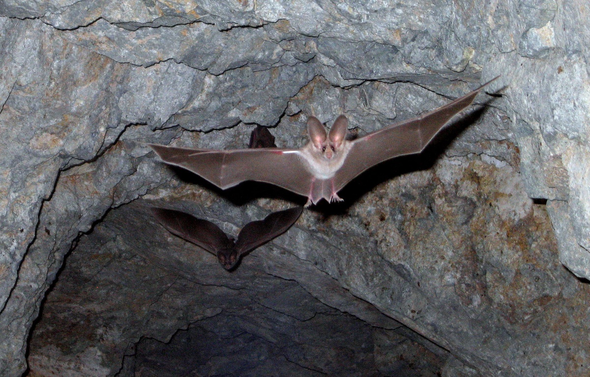 A large bat with ears twice the size of its face flies out of a cave.