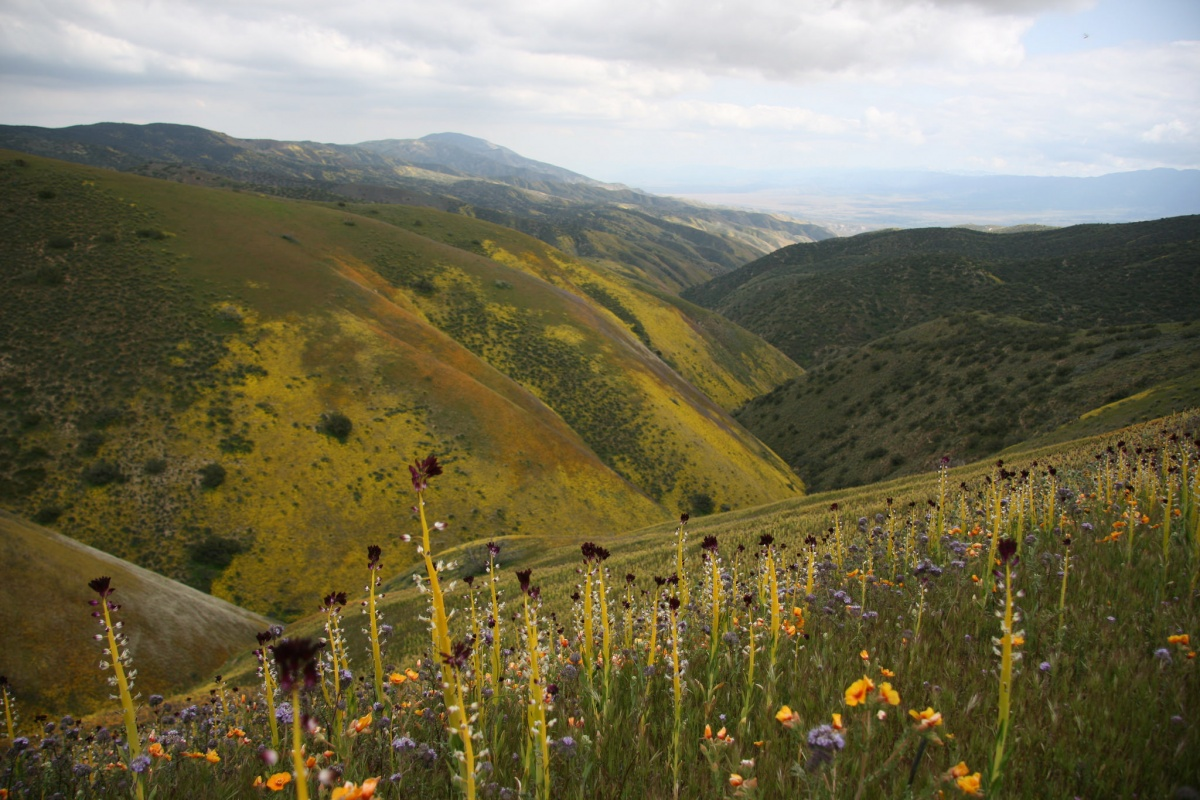 Beautiful yellow, dark purple, and light purple flowers grow out of the side of bright green hilly plain. The hills appear to zig-zag at their bases, which is the San Andreas fault.