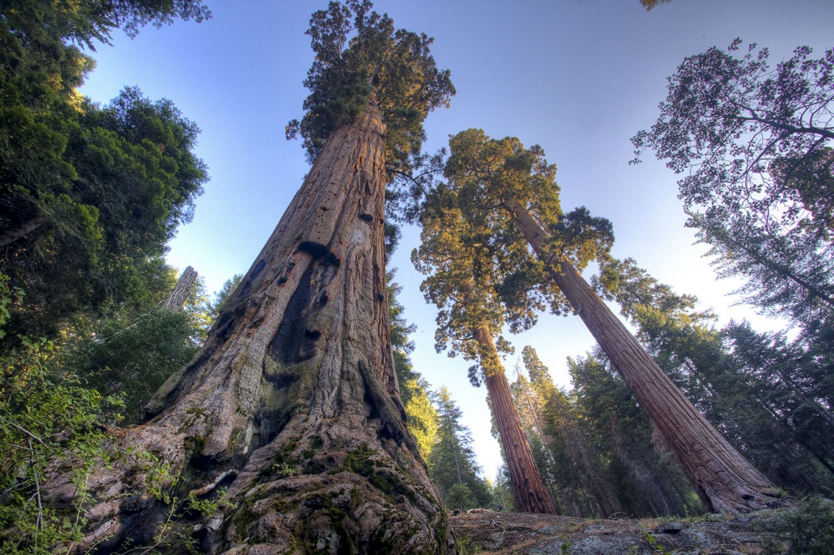 View from below of looming Sequoia tree