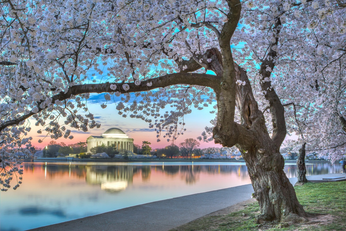 Pink blossoms frame the photo, an opening revealing the Jefferson Memorial and the tidal basin