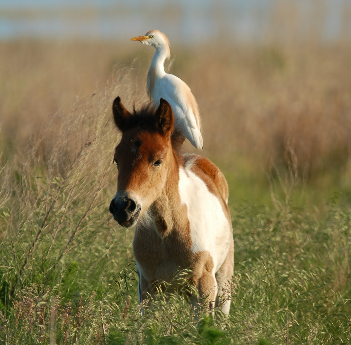 White bird perched on the back of a small brown haired pony in the middle of a grassy field