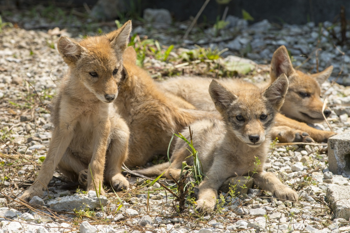 Four coyote pups rest on a rocky surface