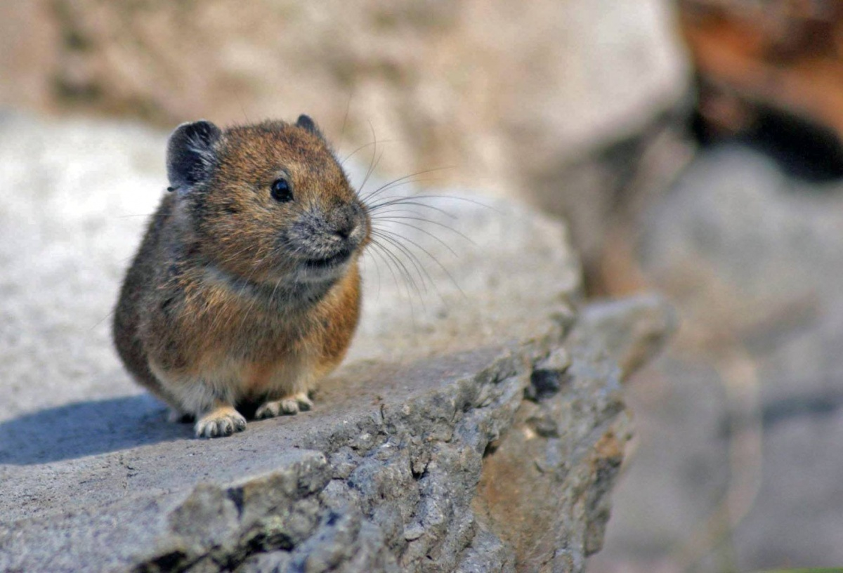 A small, furry animal with a wide face and small ears stands on top of a flat rock.