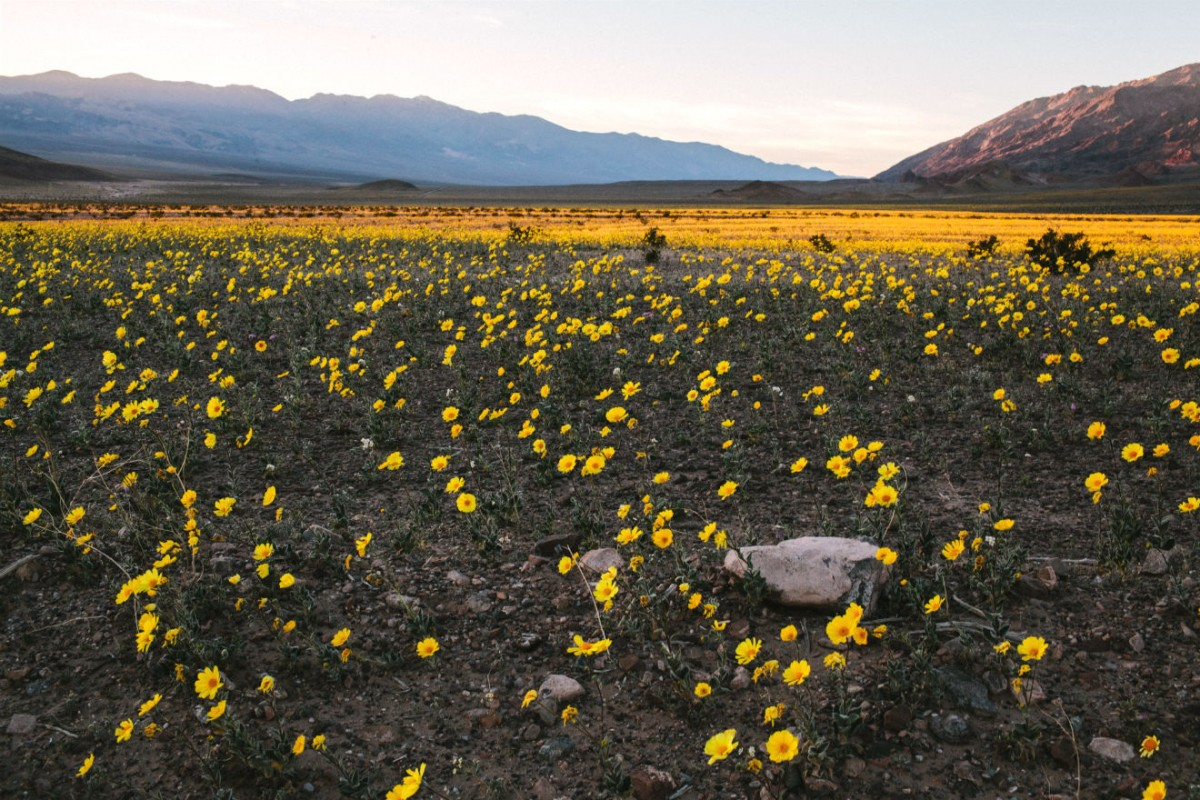 Yellow wildflowers carpet a wide, flat valley between two lines of mountains.
