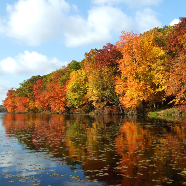 A long line of fall colored trees line the bank of a calm pond.