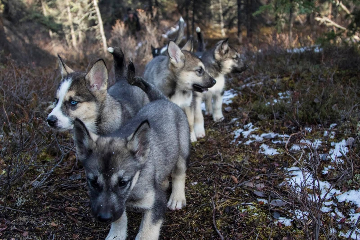 Five furry puppies walk together on a path through the woods.