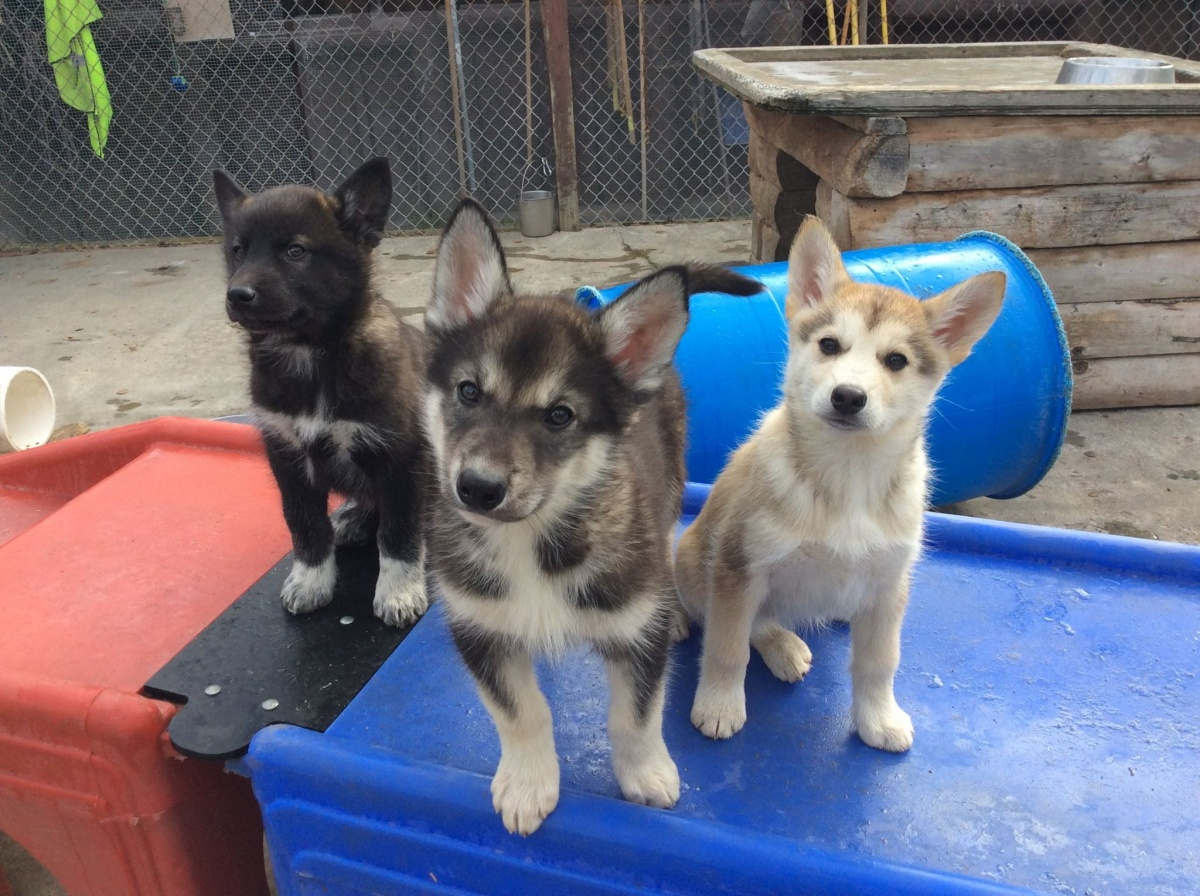 Three pups perched on a red and blue plastic object, ranging from the darkest pup on the left, a grey and white pup in the middle, and an all white pup on the right.