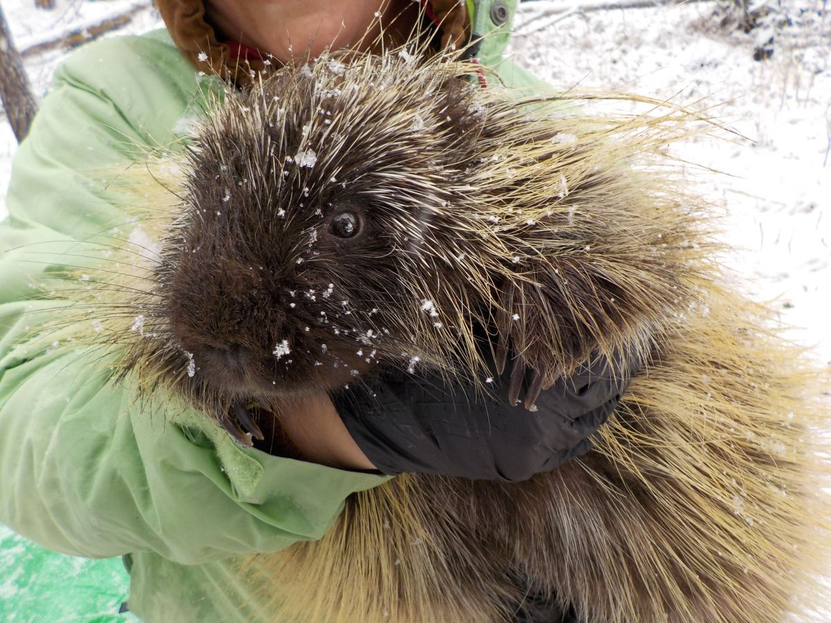 Park staff holds a porcupine to collect data during a bioblitz.