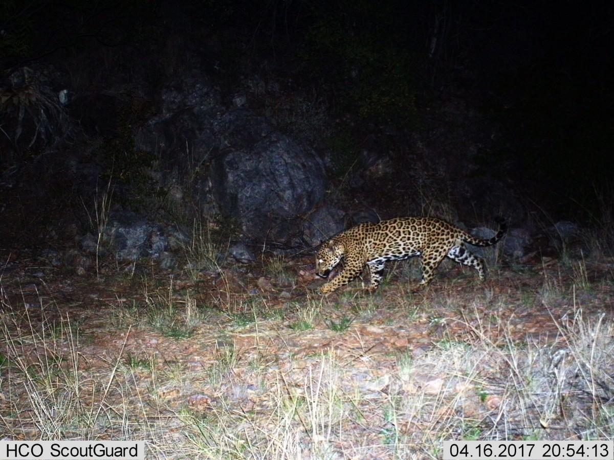 Jaguar stalks at night in front of rocks.