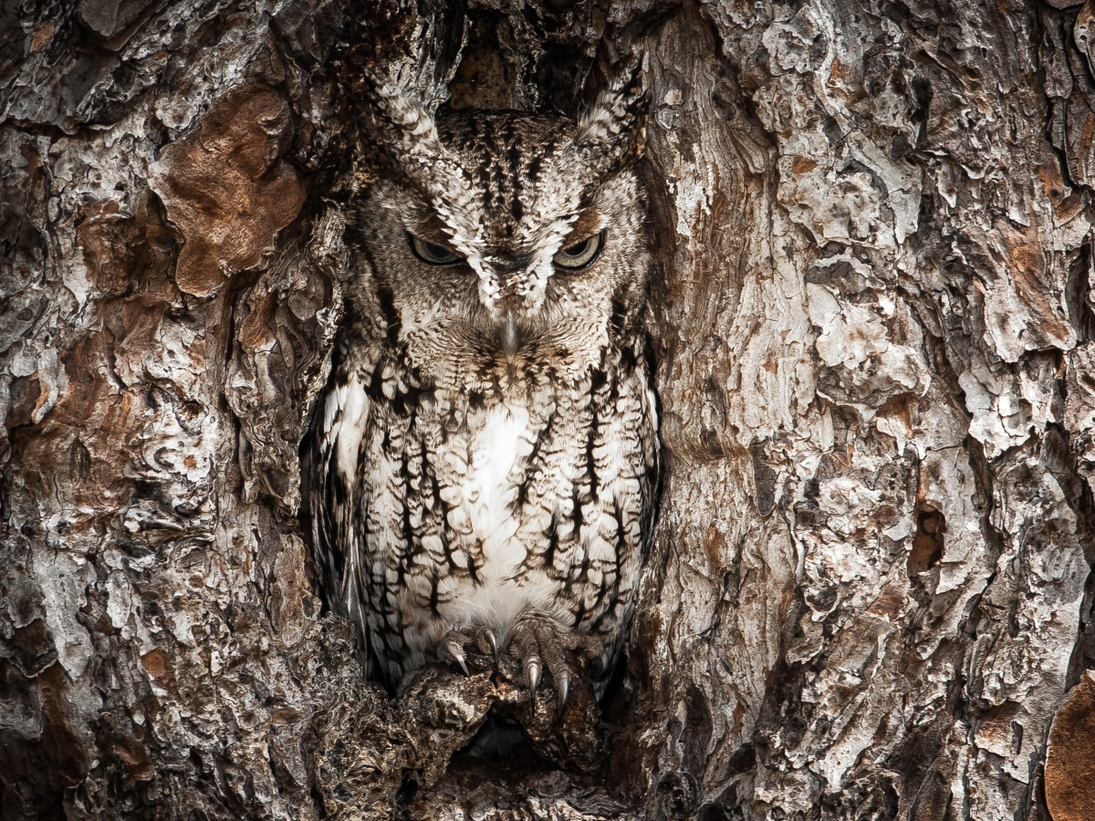 The Eastern screech owl blends in to the bark of a tree.