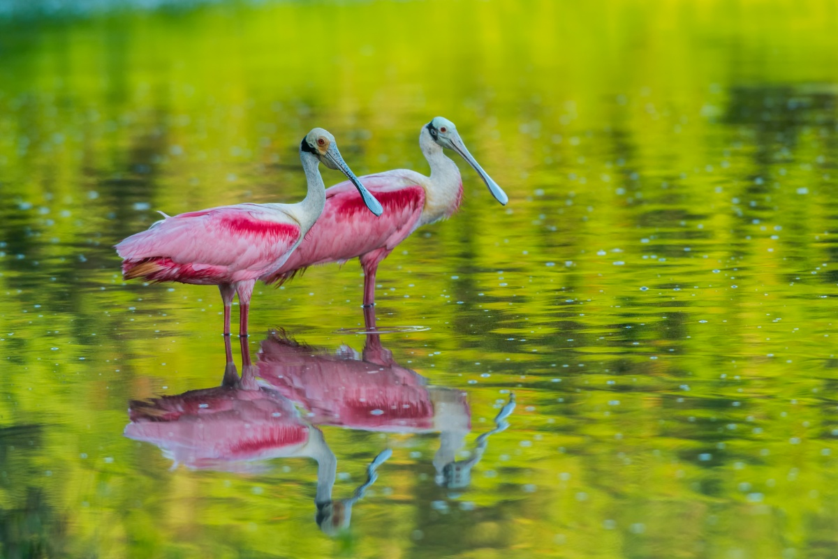 Two pink birds standing in shallow water.