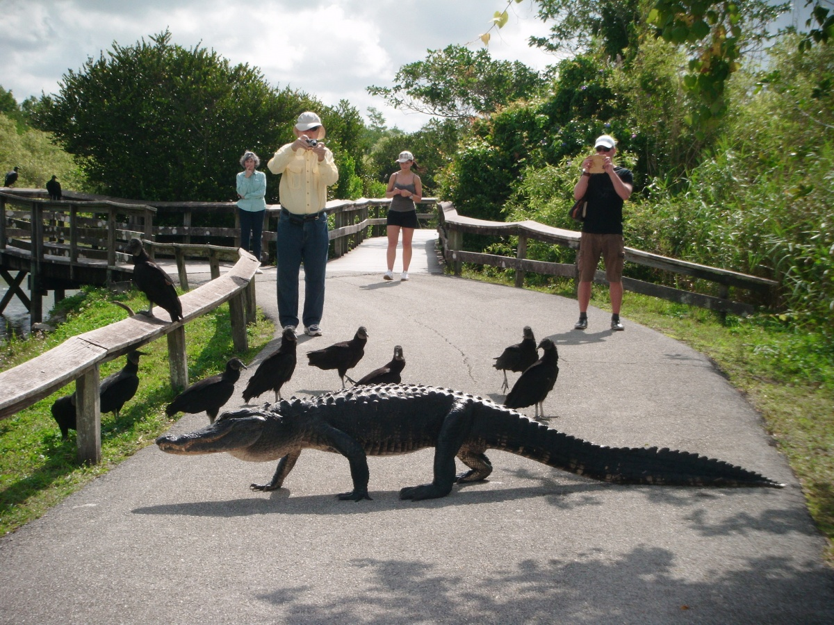 people stand in the background taking photos of an alligator walking across the path