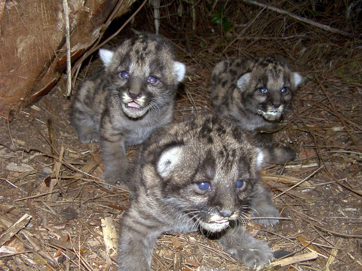 Three panther cubs sit on ground looking at camera.