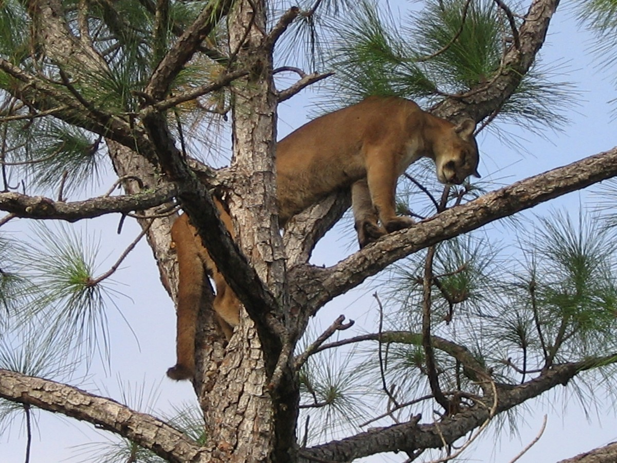 Panther sits high in tree branches and looks down at ground.
