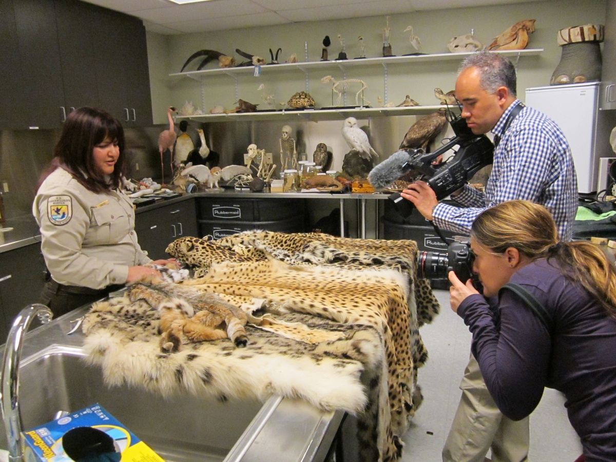In a small room lined with shelves, a woman in a tan uniform shows a table covered in animal furs to two reporters with cameras.