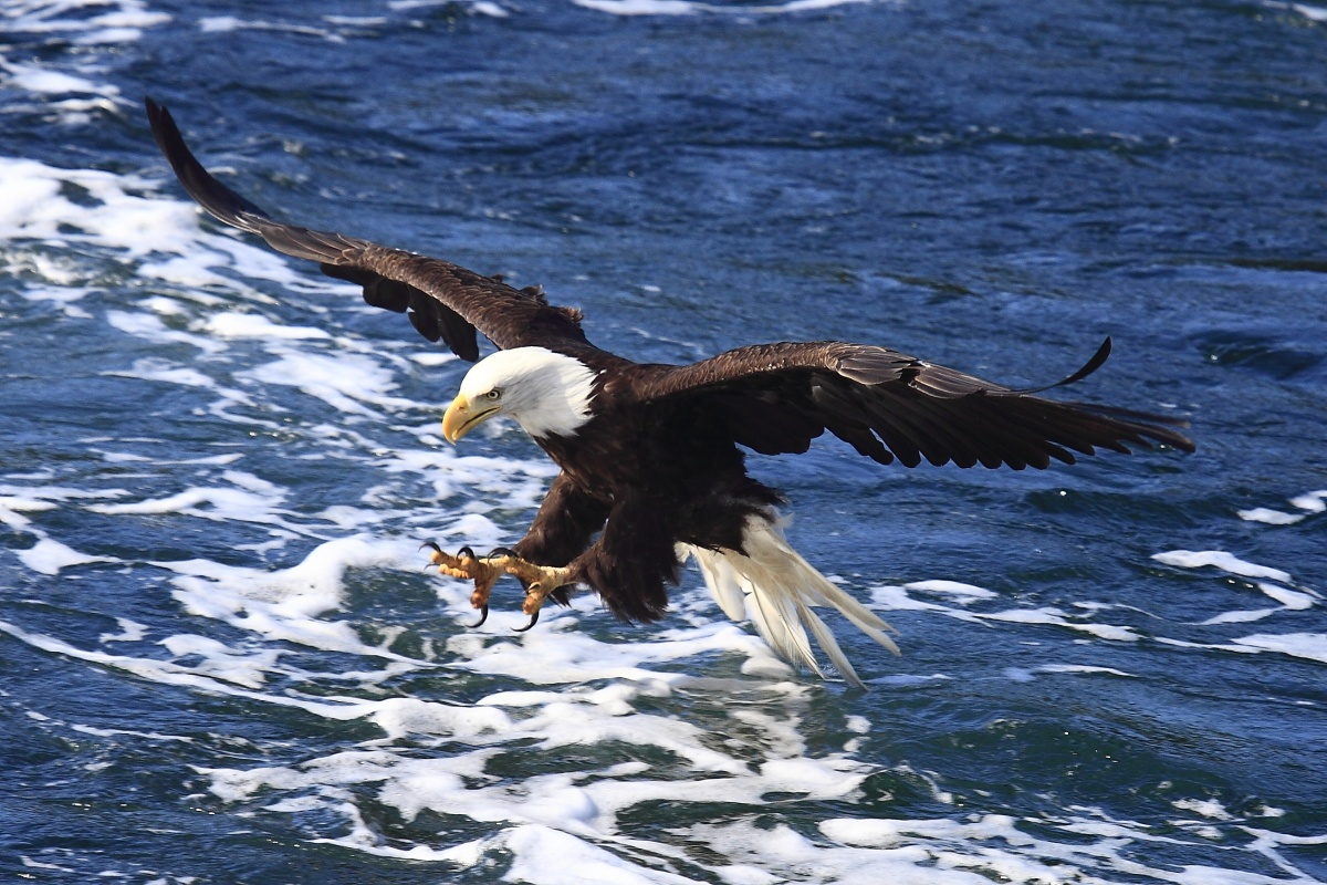 A bald eagle flying over water.