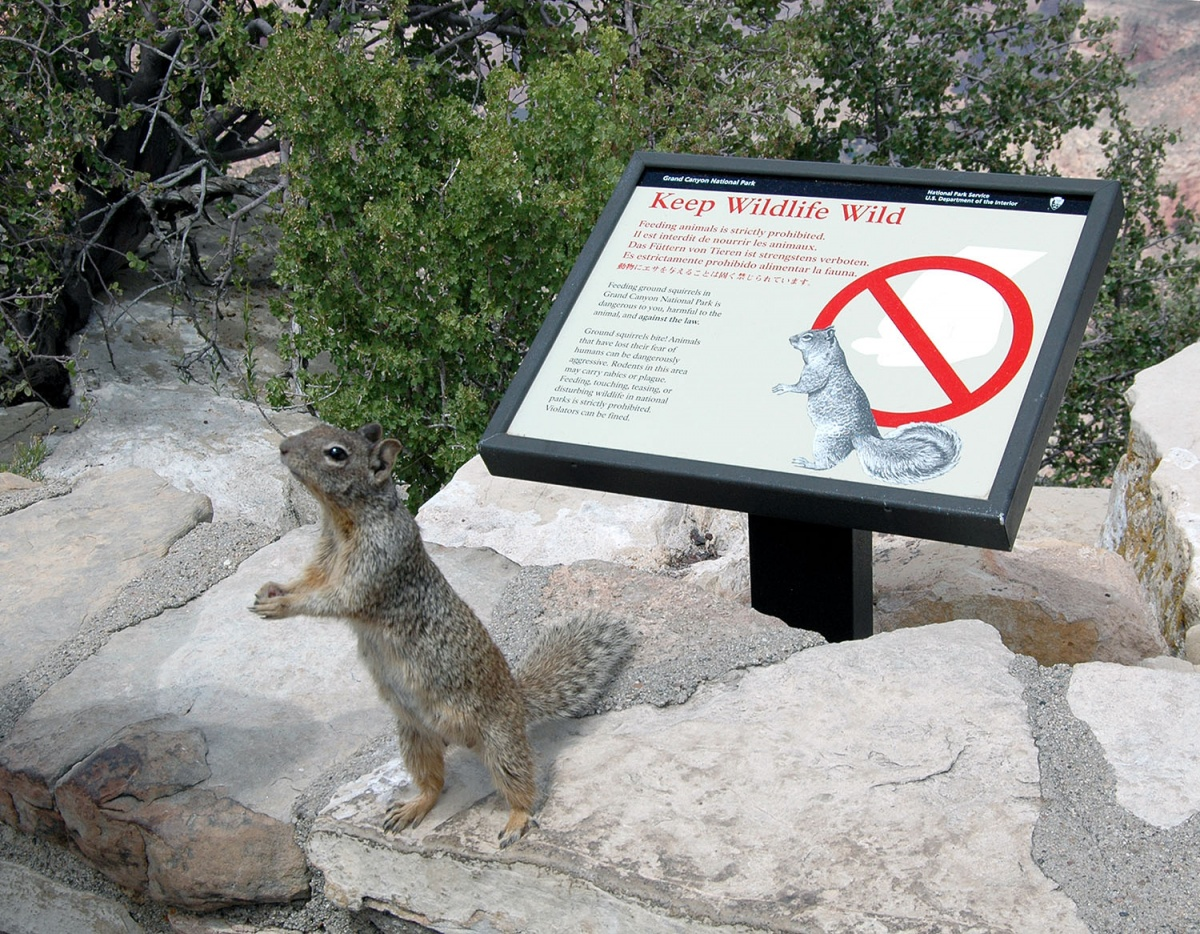 "A sign titled ""Keep Wildlife Wild"" is in the background while a standing squirrel with paws together, exactly imitates its sketched counterpart on the sign behind"