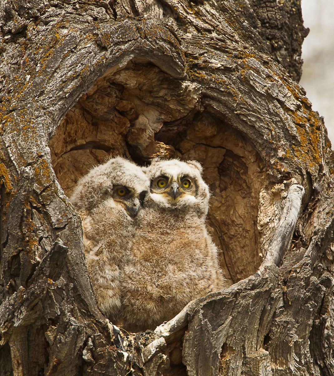 two owlets sit in a tree burrow that's in the shape of a heart