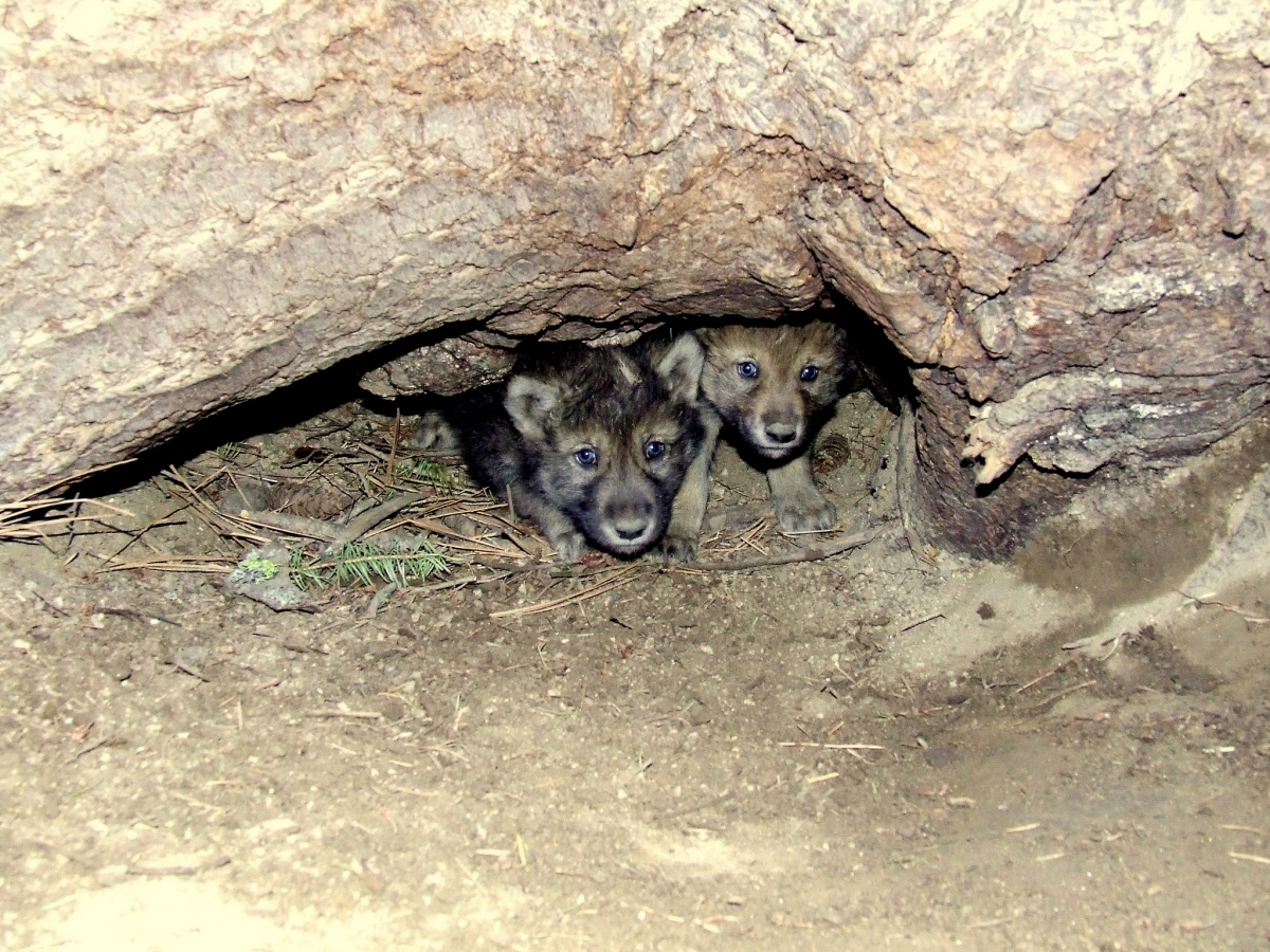 Two wolf pups look out from an opening under a large rock enclosure