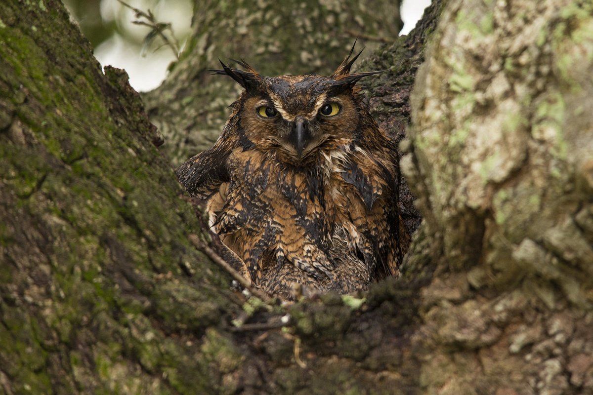 A yellow-eyed owl sits in the crook of a tree looking at the camera.