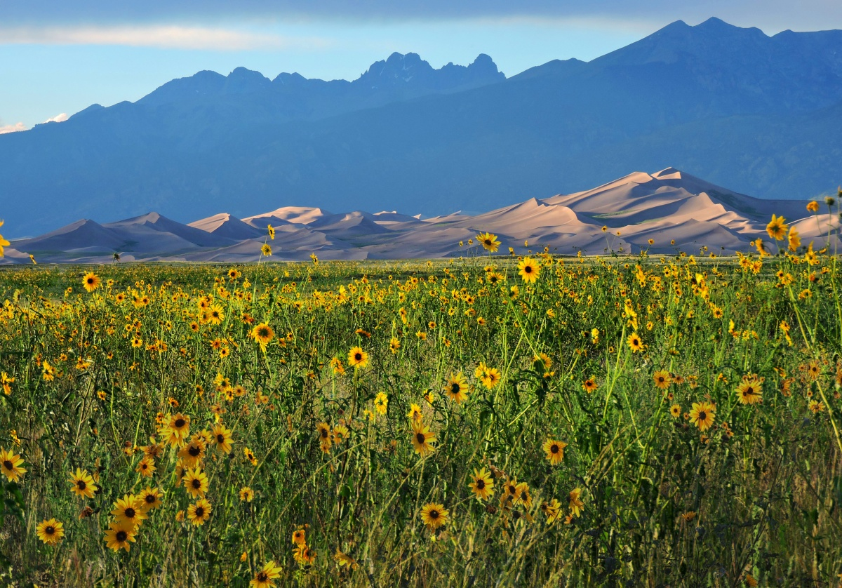 A large field of yellow flowers runs back to a line of tall, curving sand dunes with tall mountains in the distance.