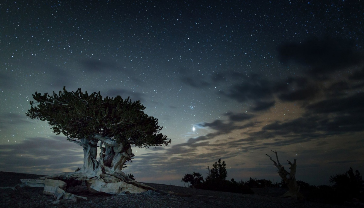 Vast, dark, starry sky in the background with large Brislecone Pine tree in the center of the photo