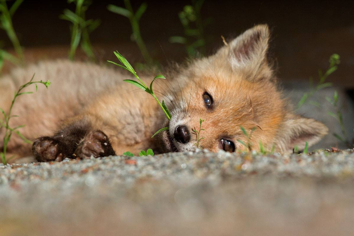 Fox pup on its side on the ground, green sprouts around it and one enclosed in its mouth