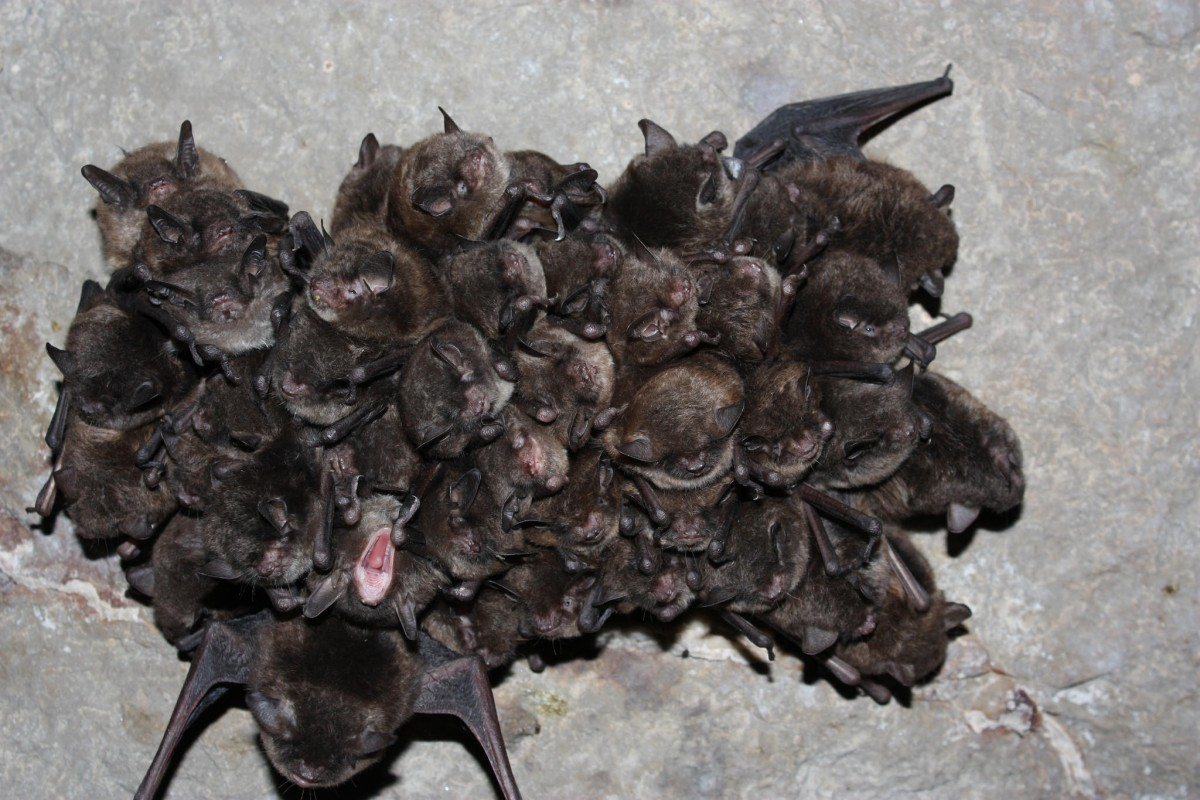 A tightly huddled cluster of dark brown bats squeeze their eyes shut as they hang upside down throughout hibernation.