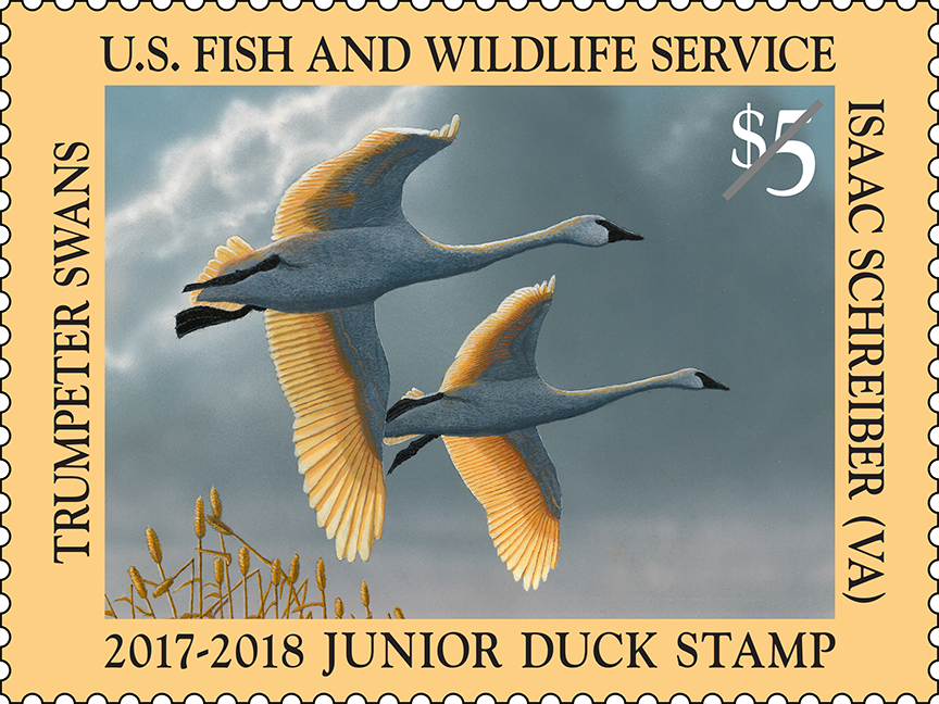 A pair of two white trumpeter swans fly across a dark, cloudy sky on the 2017-2018 Junior Duck Stamp