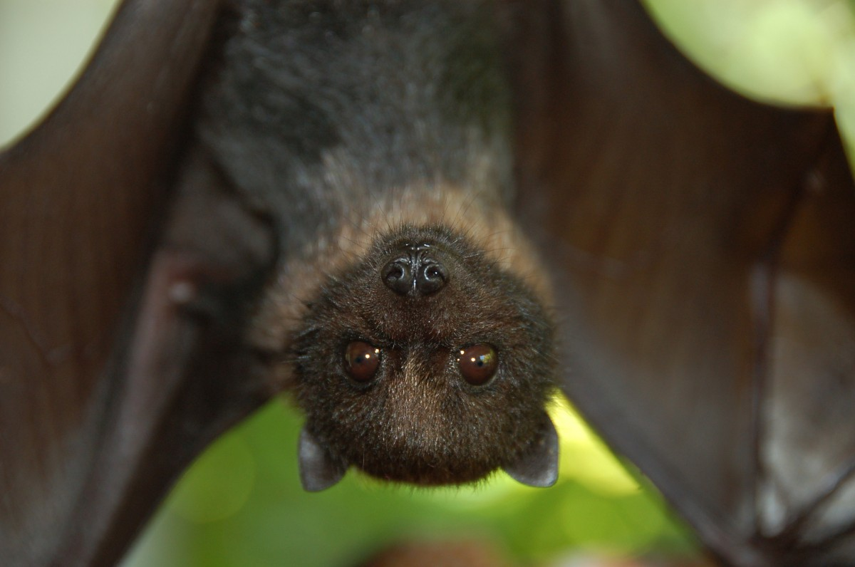 The head of a small bat with beady brown eyes fills the foreground and the rest of its lithe body hangs upside down in the background.