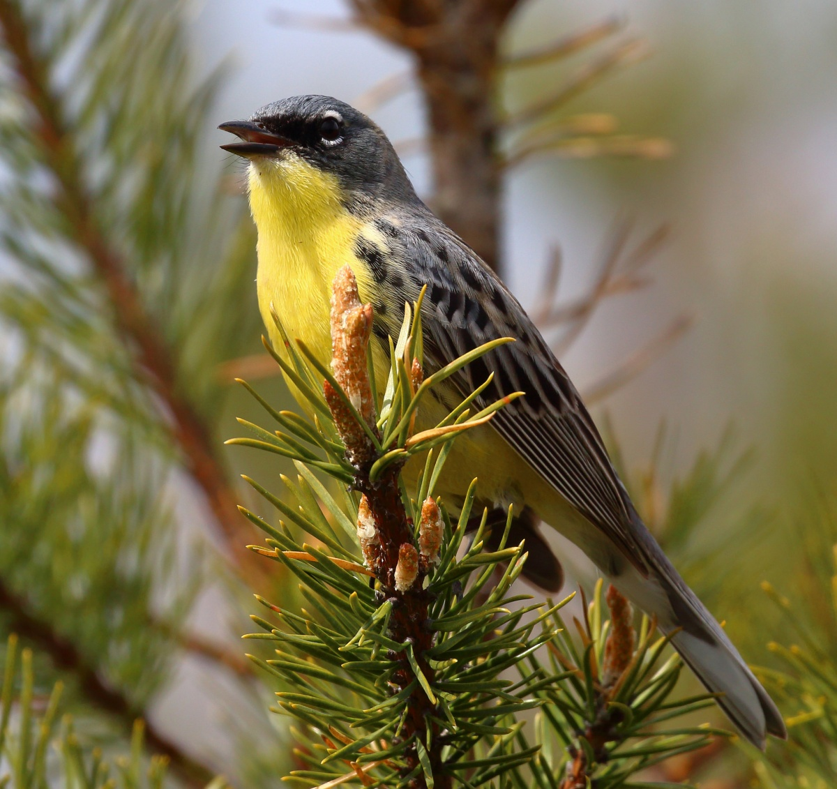 A yellow and grey bird sits on a brown and green bristled tree branch.