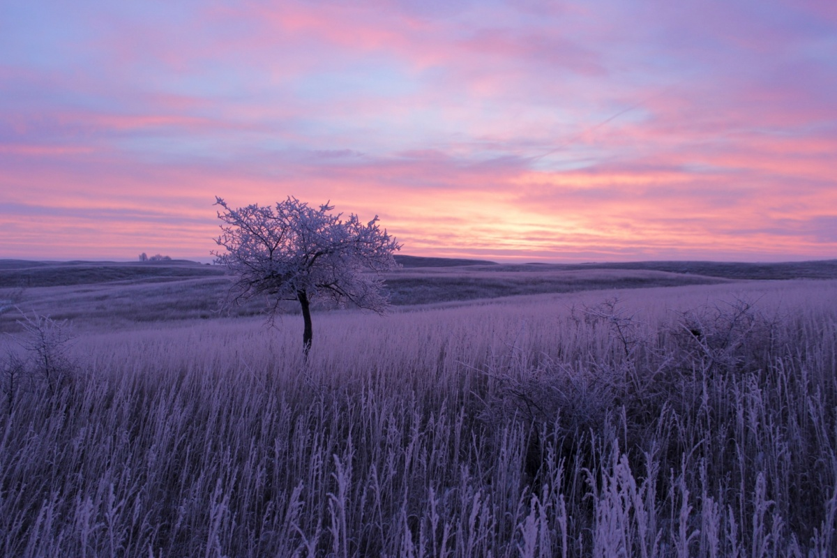 Frost covers tall grass and a single tree on a landscape of rolling hills under a purple and pink sunrise.