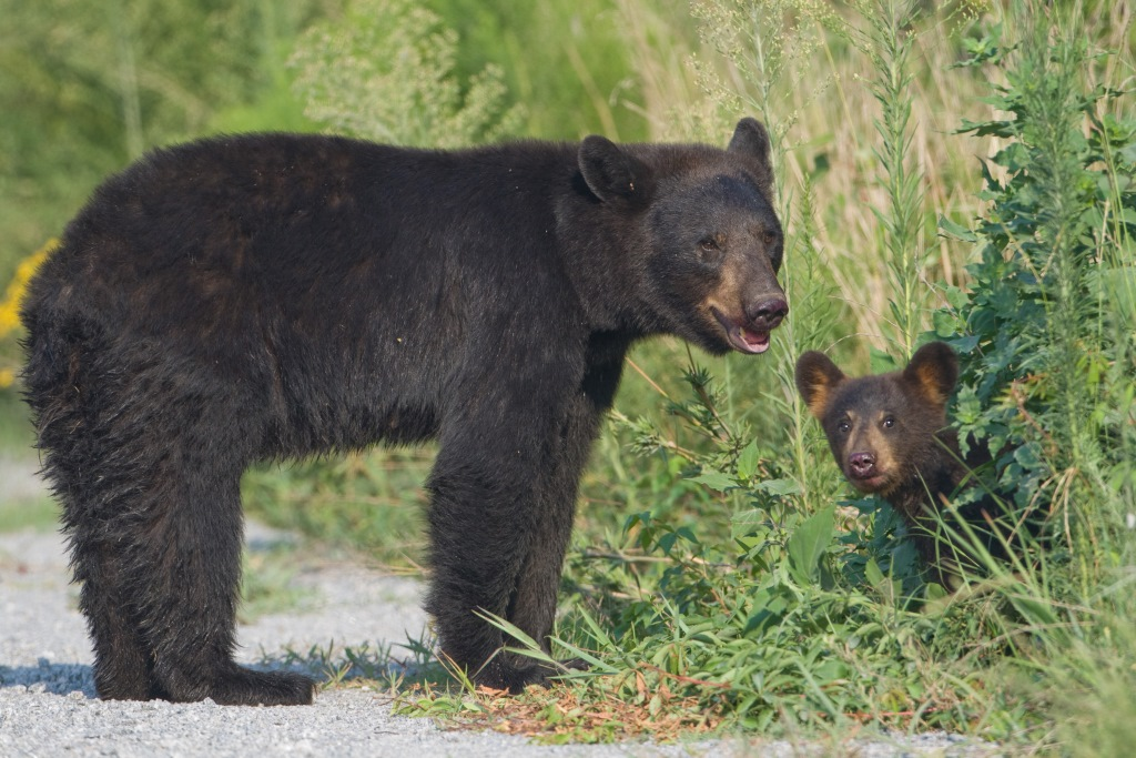A black bear stands on a trail as her cub peeks out from the bushes.