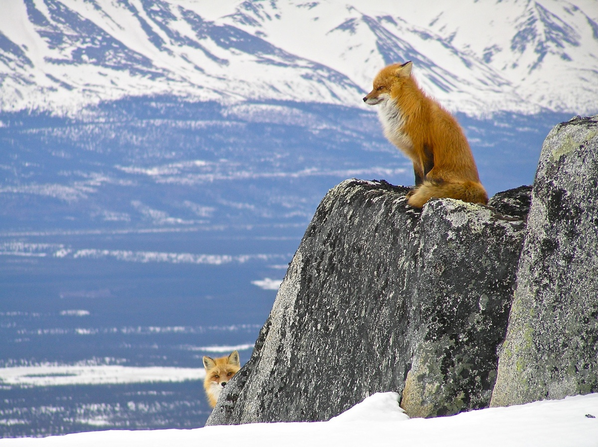 One orange fox sits on a large rock while another fox peeks around the rock with a large snow covered valley behind them.
